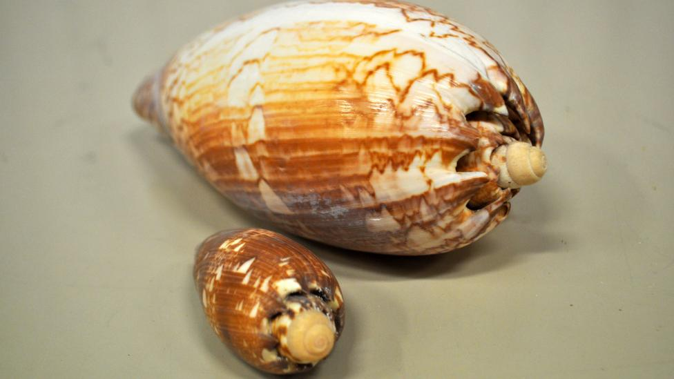 Baler shell specimens which belong to the species Melo miltonis