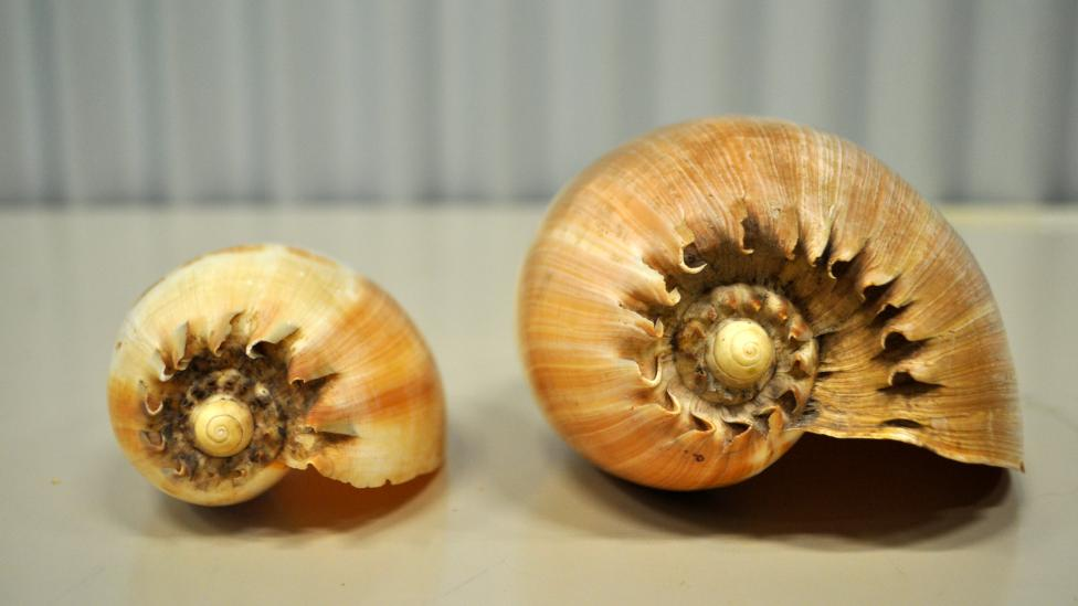 Baler shell specimens collected in Indonesia; species Melo aethiopica