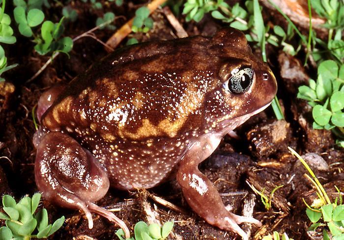 Southwest Frogs | Western Australian Museum