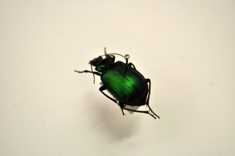 A behind-the-scenes look at our beetle collection   Western