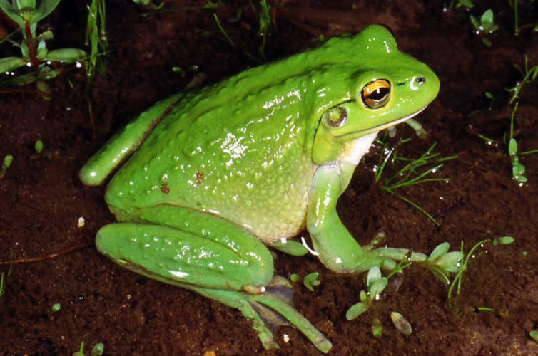 Motorbike Frog | Western Australian Museum: museum.wa.gov.au/explore/frogwatch/frogs/motorbike-frog