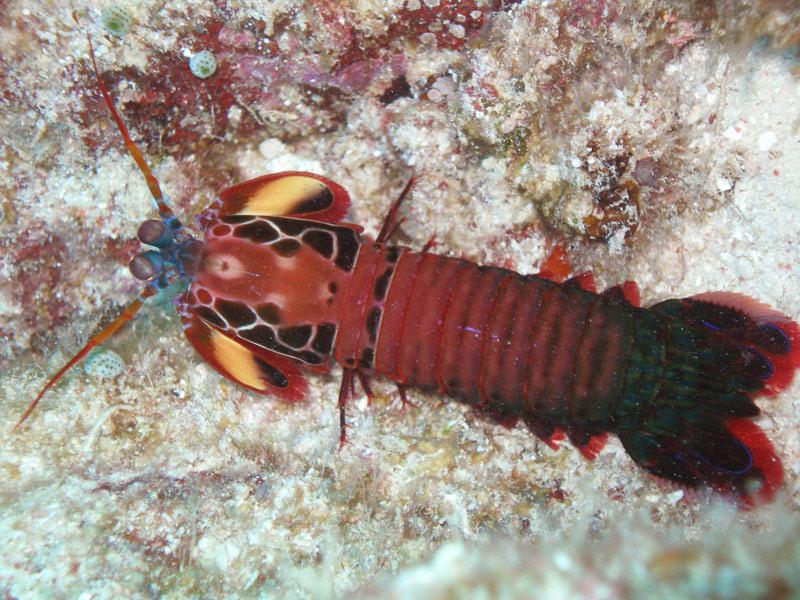 mantis shrimp in aquarium