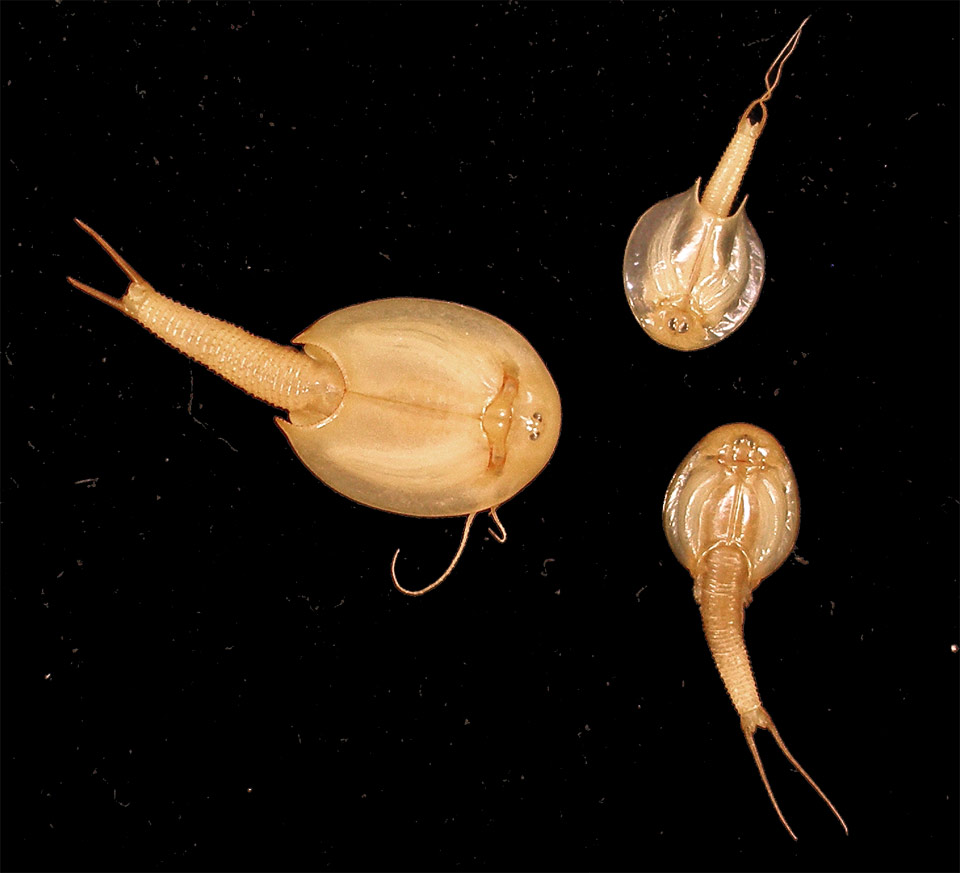 Three Tadpole Shrimps of different sizes facing one another